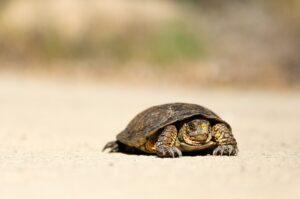turtle crawling slowly